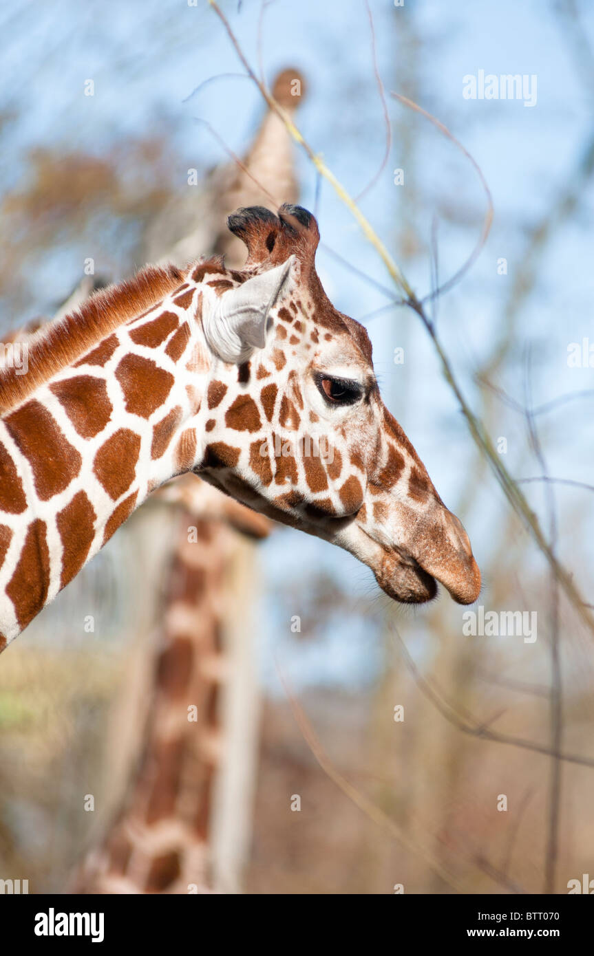 Reticulated Giraffes high in the trees Stock Photo