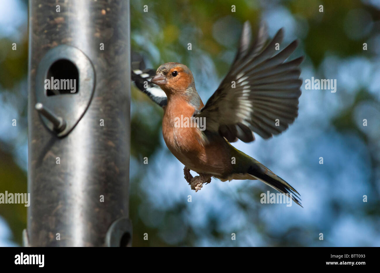 Male Chaffinch about to land on a feeder in an English garden. - Stock Image