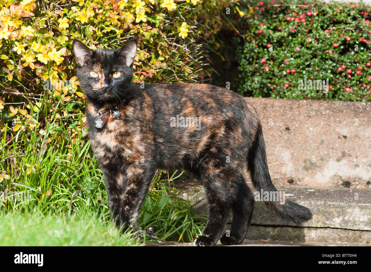 Adult female brindle tortoiseshell cat sitting seen in the Cotswold village of Broadway, Worcestershire, UK. - Stock Image