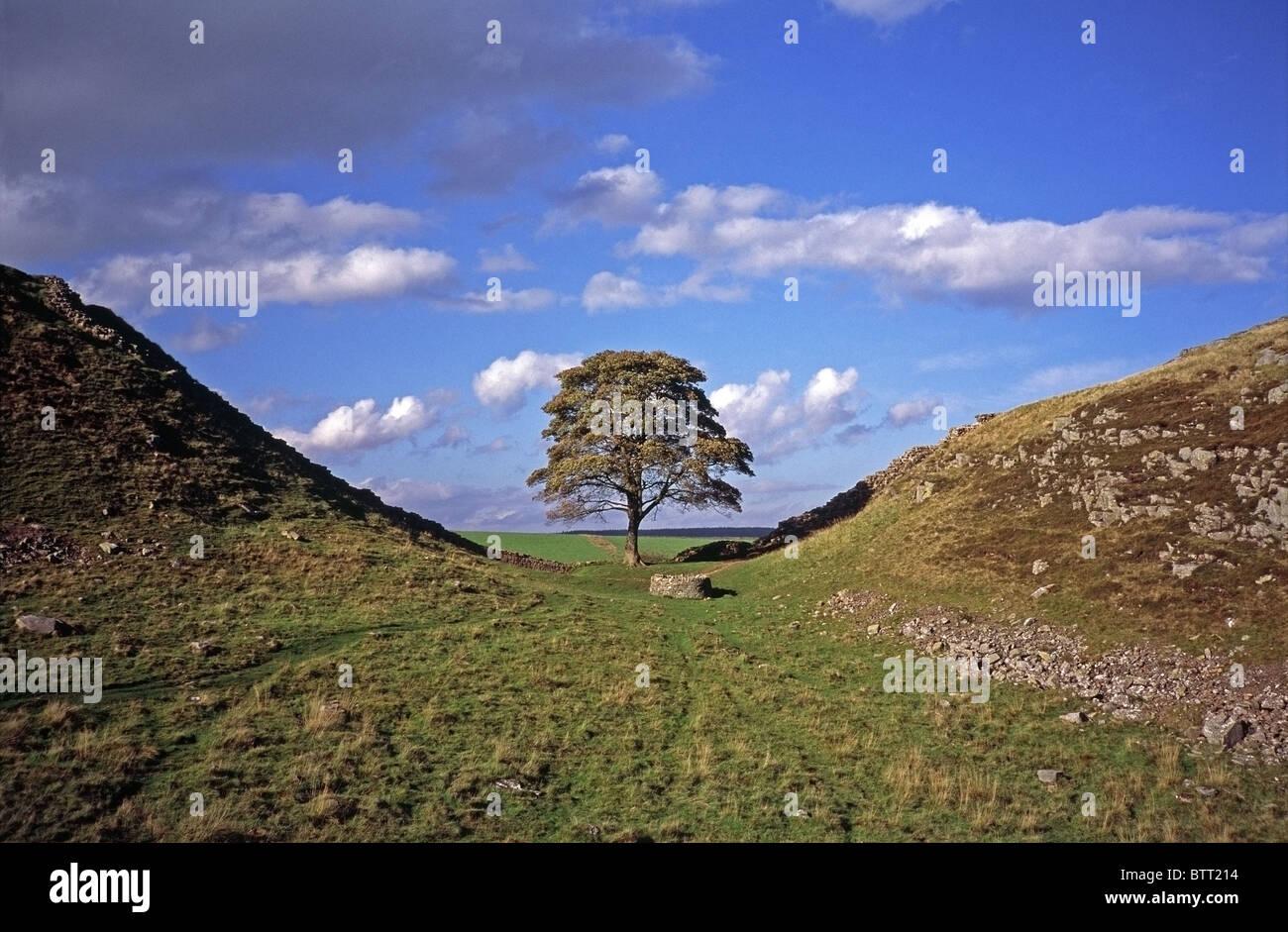 Sycamore Tree (Acer pseudoplatanus) at Sycamore Gap, Hadrian's Wall, Northumberland, England - Stock Image