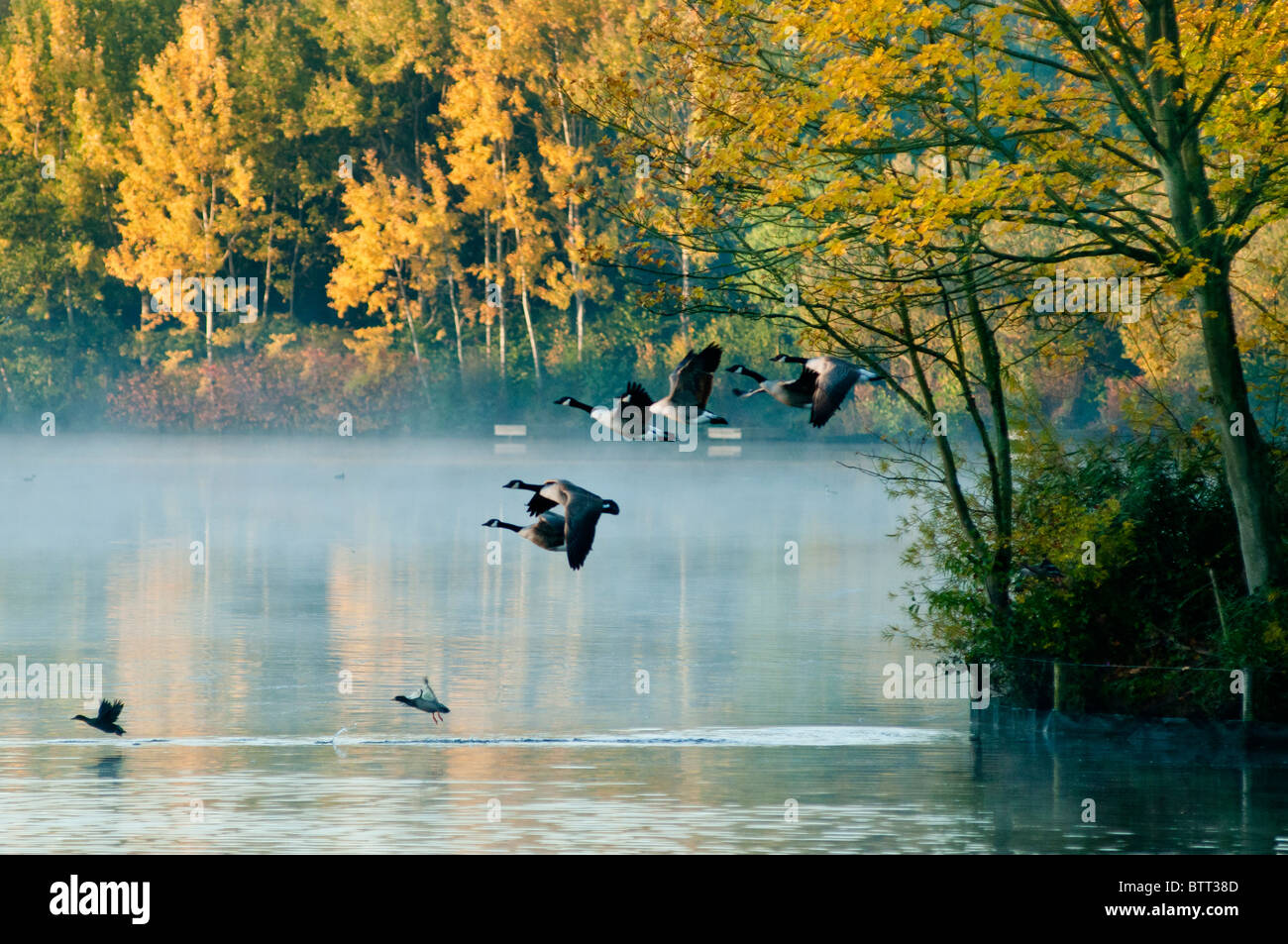 Flying Canada geese on a misty day, Worcestershire, UK - Stock Image