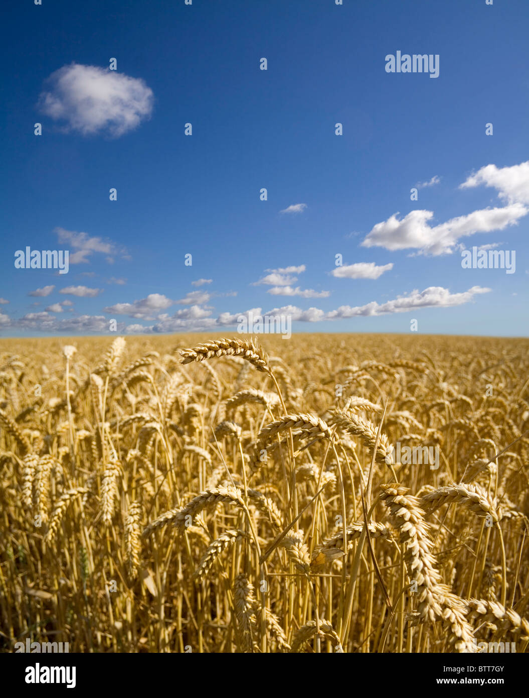 A field of ripening summer wheat beneath a clear blue sky. - Stock Image