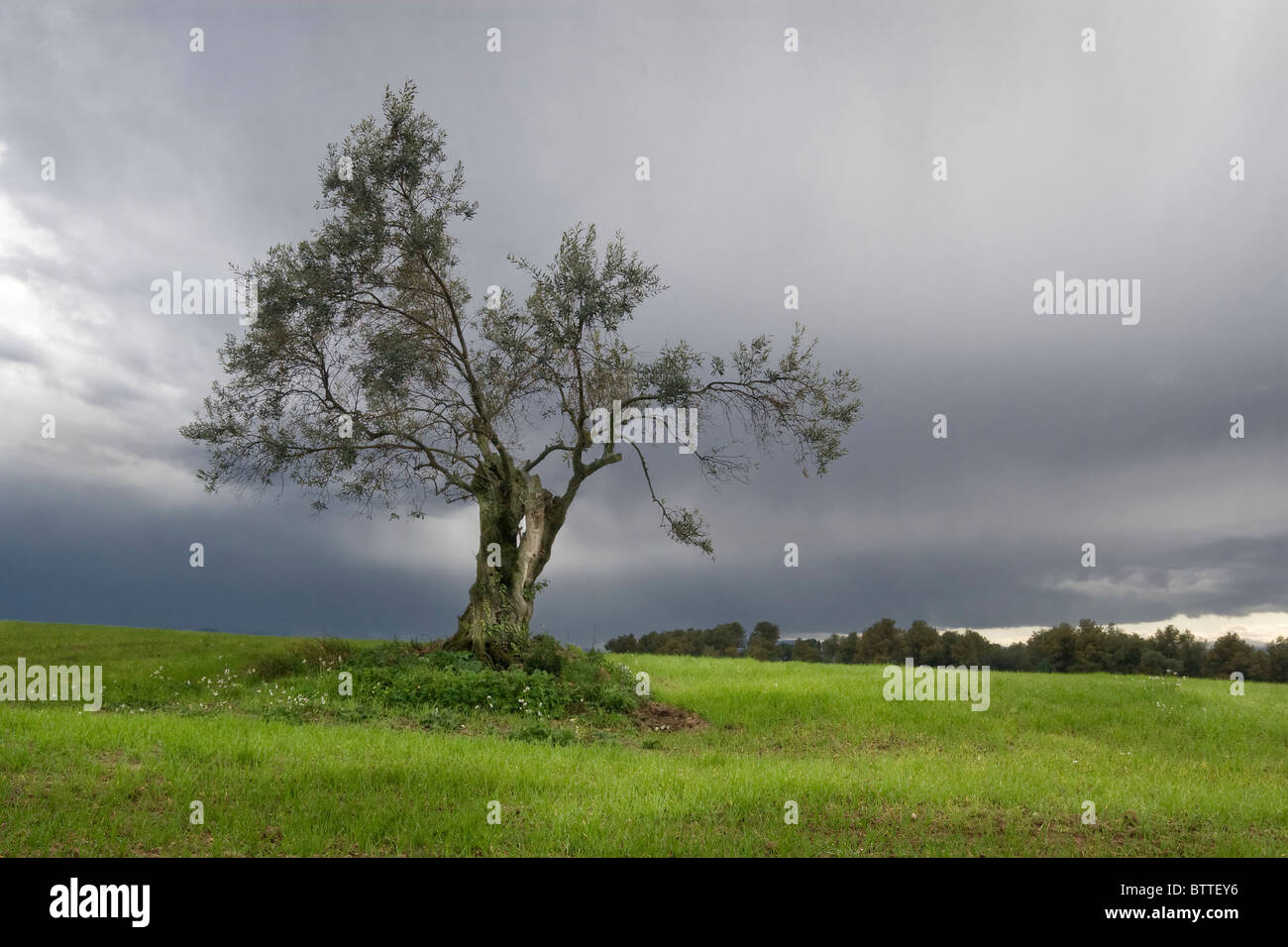 Lonely olive tree - Stock Image
