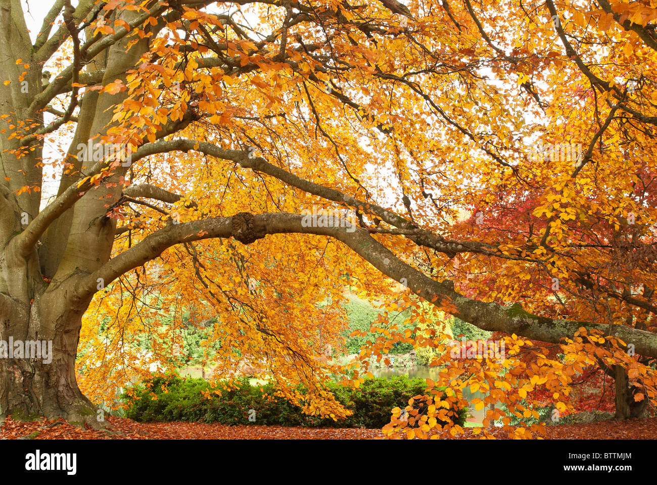 sweeping branches full of beautiful colored leaves - Stock Image