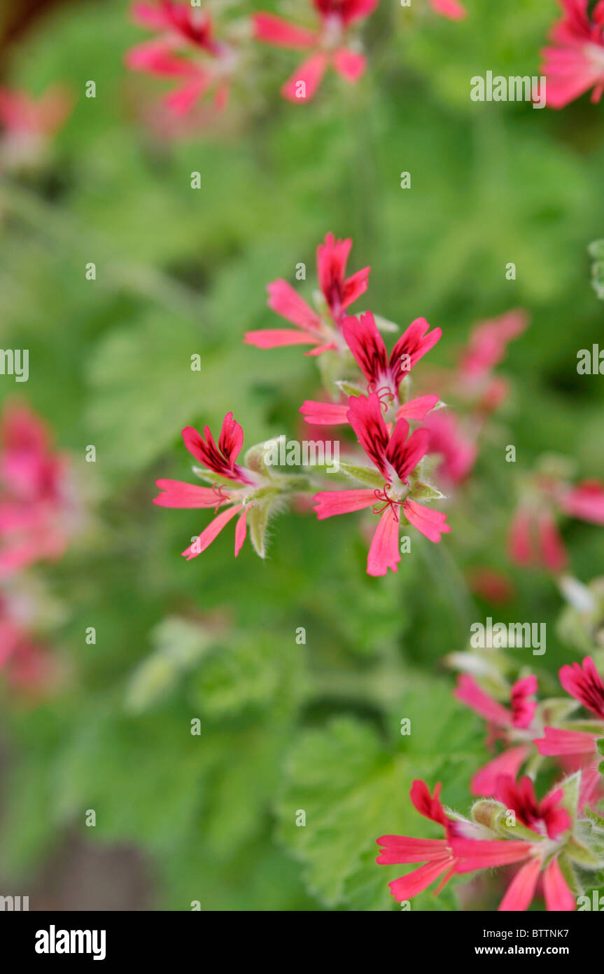 Scented pelargonium (Pelargonium Mrs. Kingsley) - Stock Image