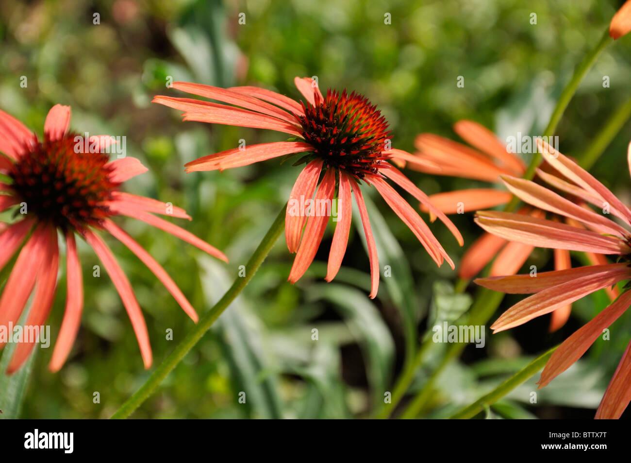 Purple cone flower (Echinacea purpurea 'Art's Pride') - Stock Image