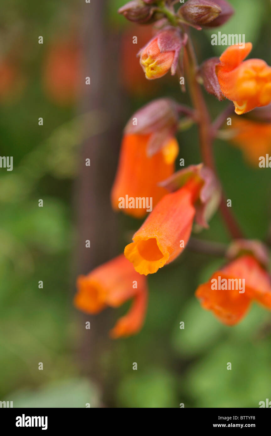 Glory flower (Eccremocarpus scaber) - Stock Image
