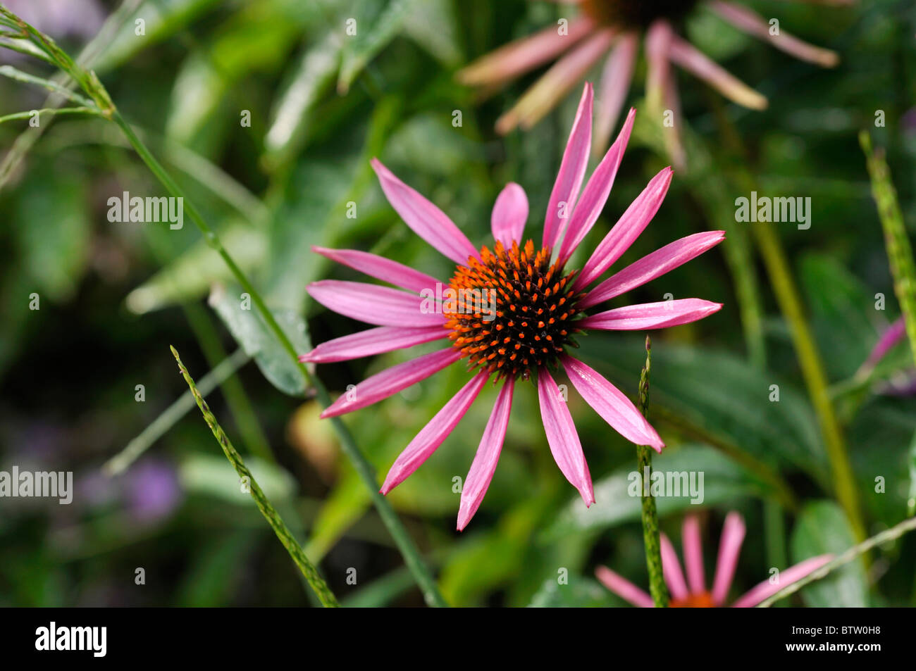 Purple cone flower (Echinacea purpurea 'Pica Bella') - Stock Image