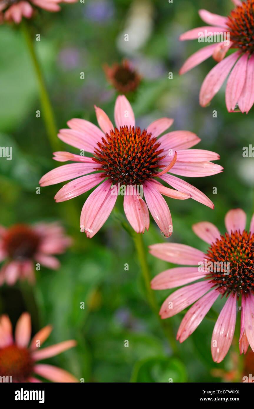 Purple cone flower (Echinacea purpurea 'Sundown') - Stock Image