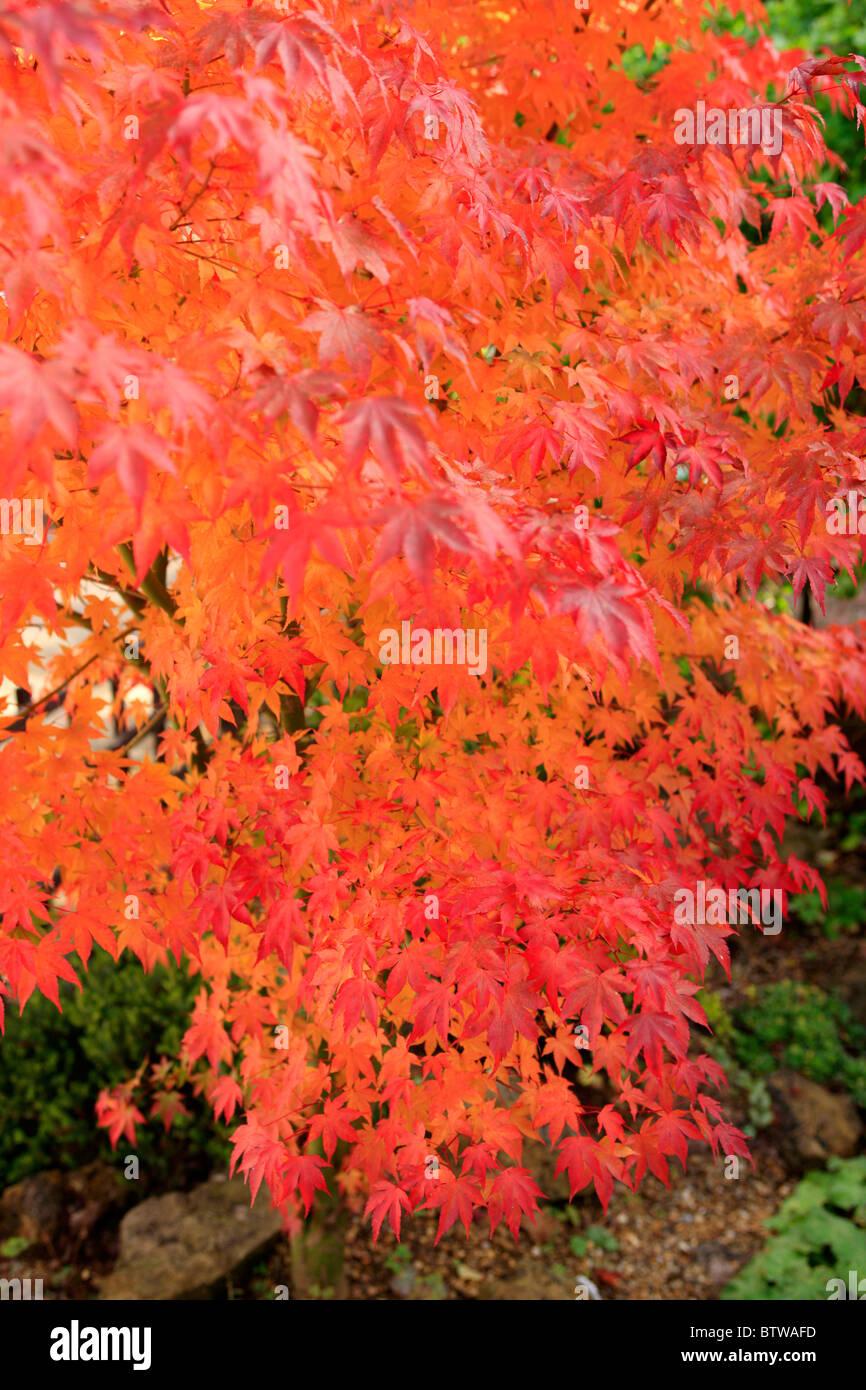 Japanese Maple Tree Acer Palmatum Osakazuki Known For Its Highly