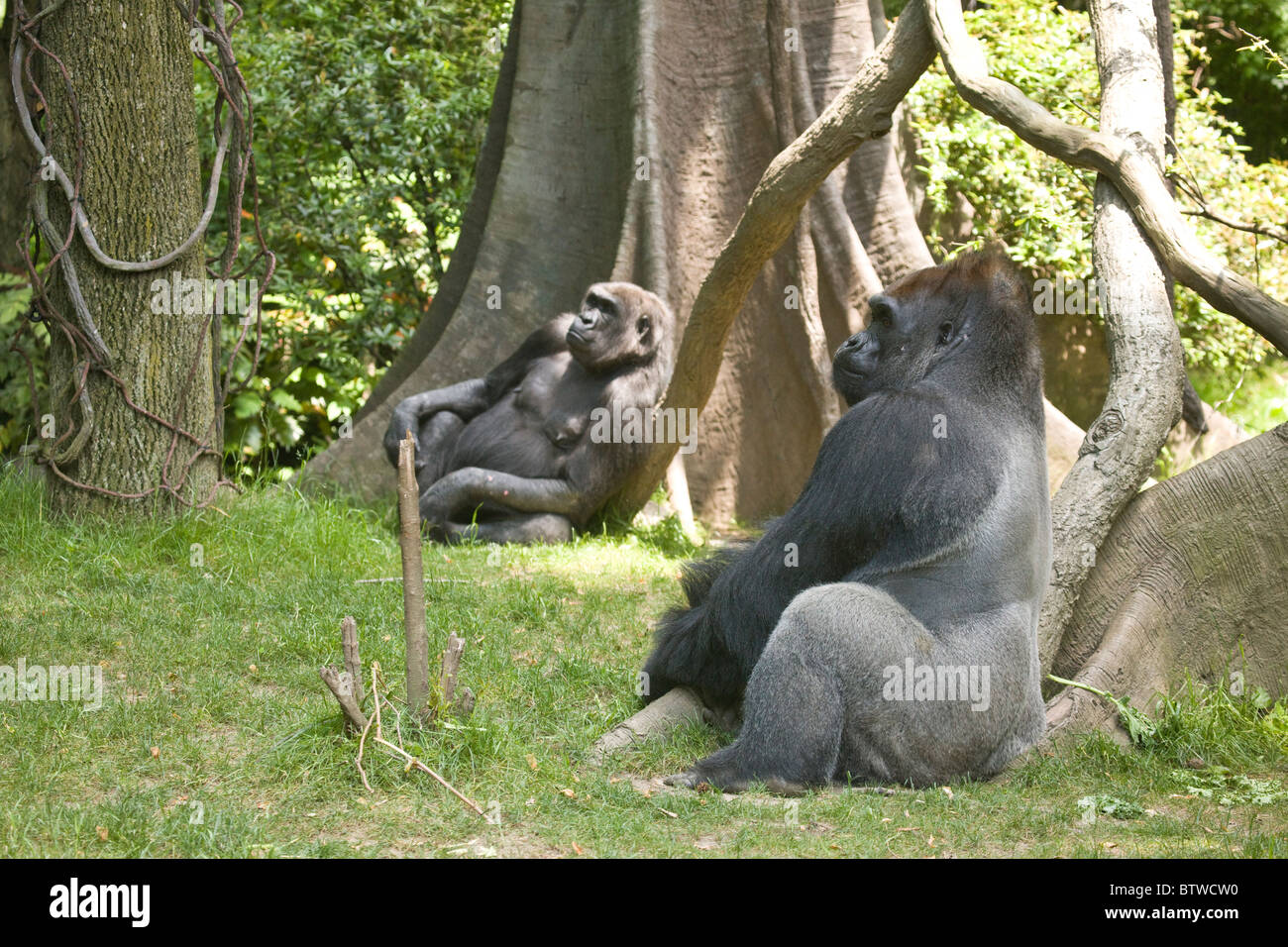 Congo Gorilla Forest Enclosure At The Bronx Zoo Stock Photo