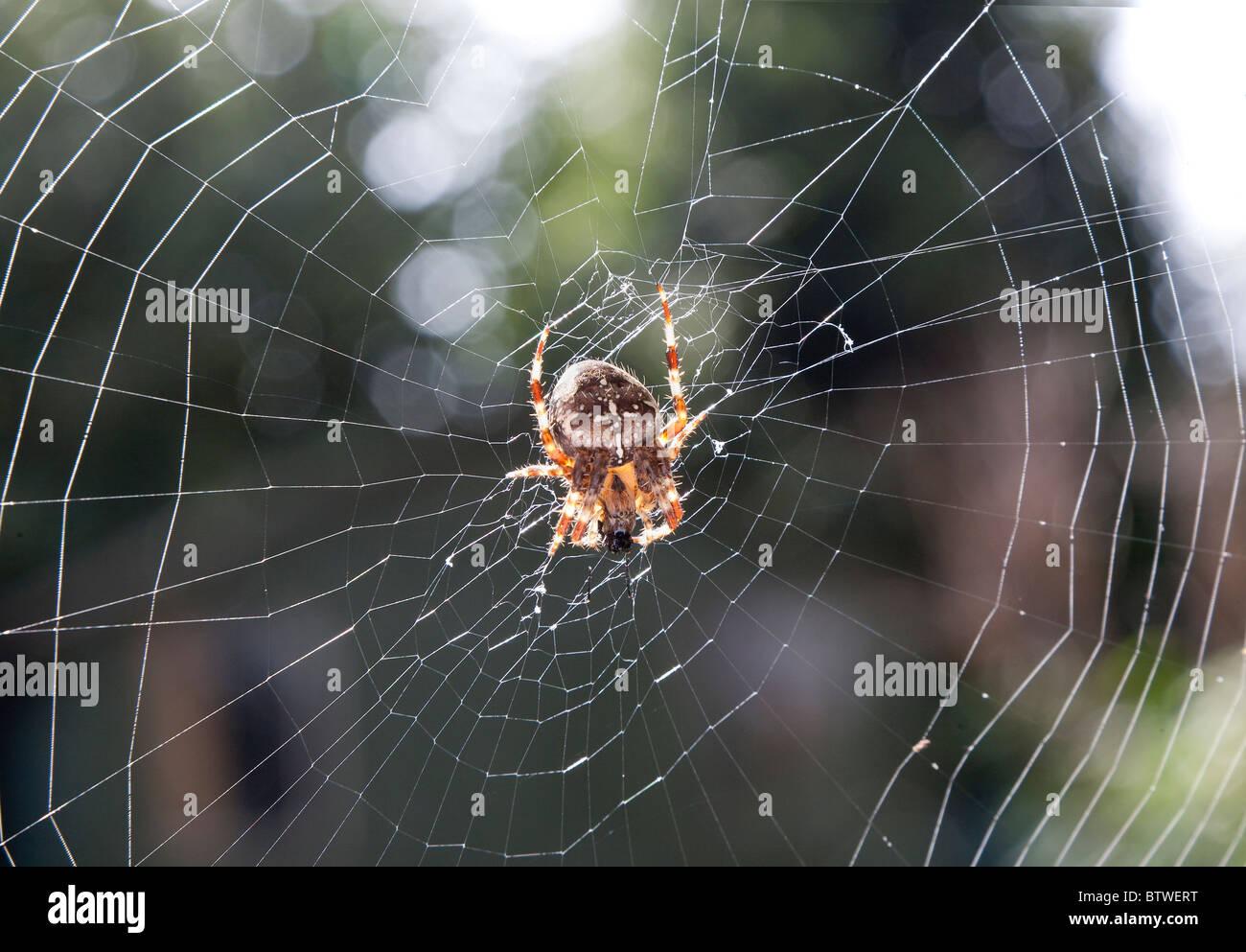 GARDEN SPIDER FEEDING ON FLY ON WEB - Stock Image