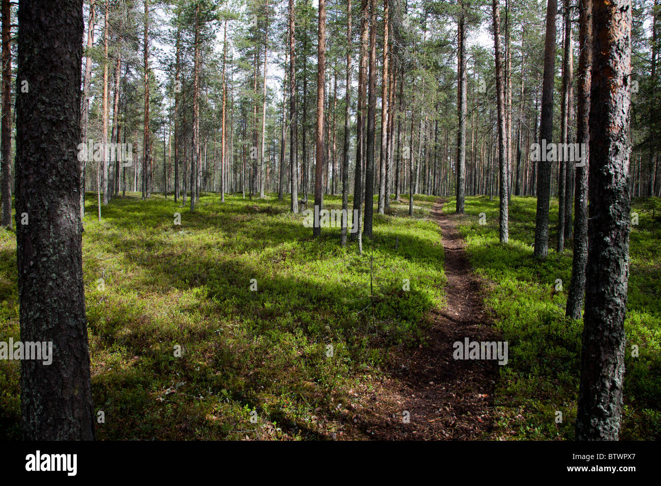 Footpath on Finnish pine ( pinus sylvestris ) forest on dry esker based soil , undergrowth consists mainly blueberries - Stock Image