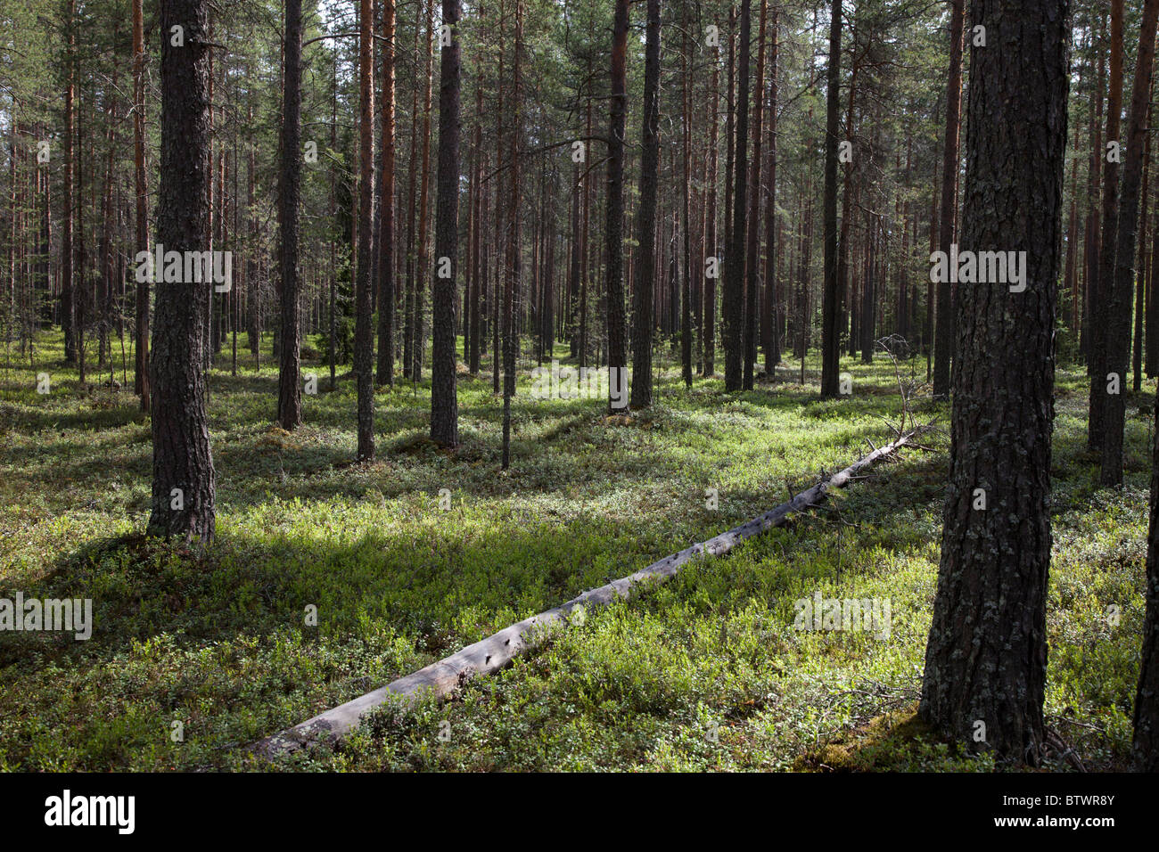 Young Finnish pine ( pinus sylvestris ) forest on dry esker based soil , undergrowth mainly of blueberry shrubs - Stock Image