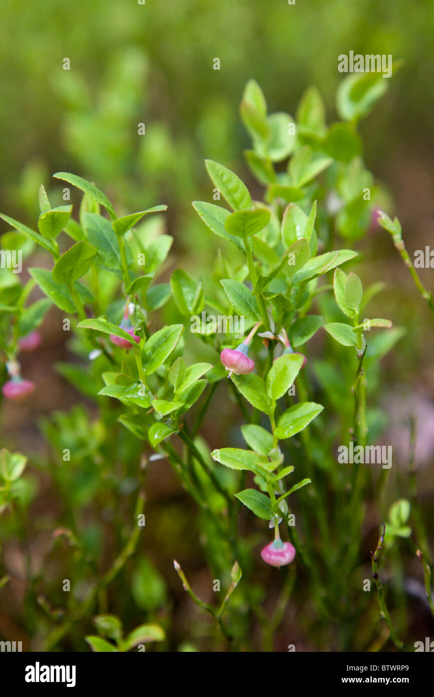 Closeup of a blueberry ( Vaccinium myrtillus ) bush with raw berries - Stock Image