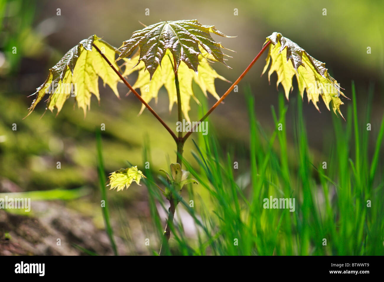 Growing young maple tree in spring (Acer ptalonoides) - Stock Image