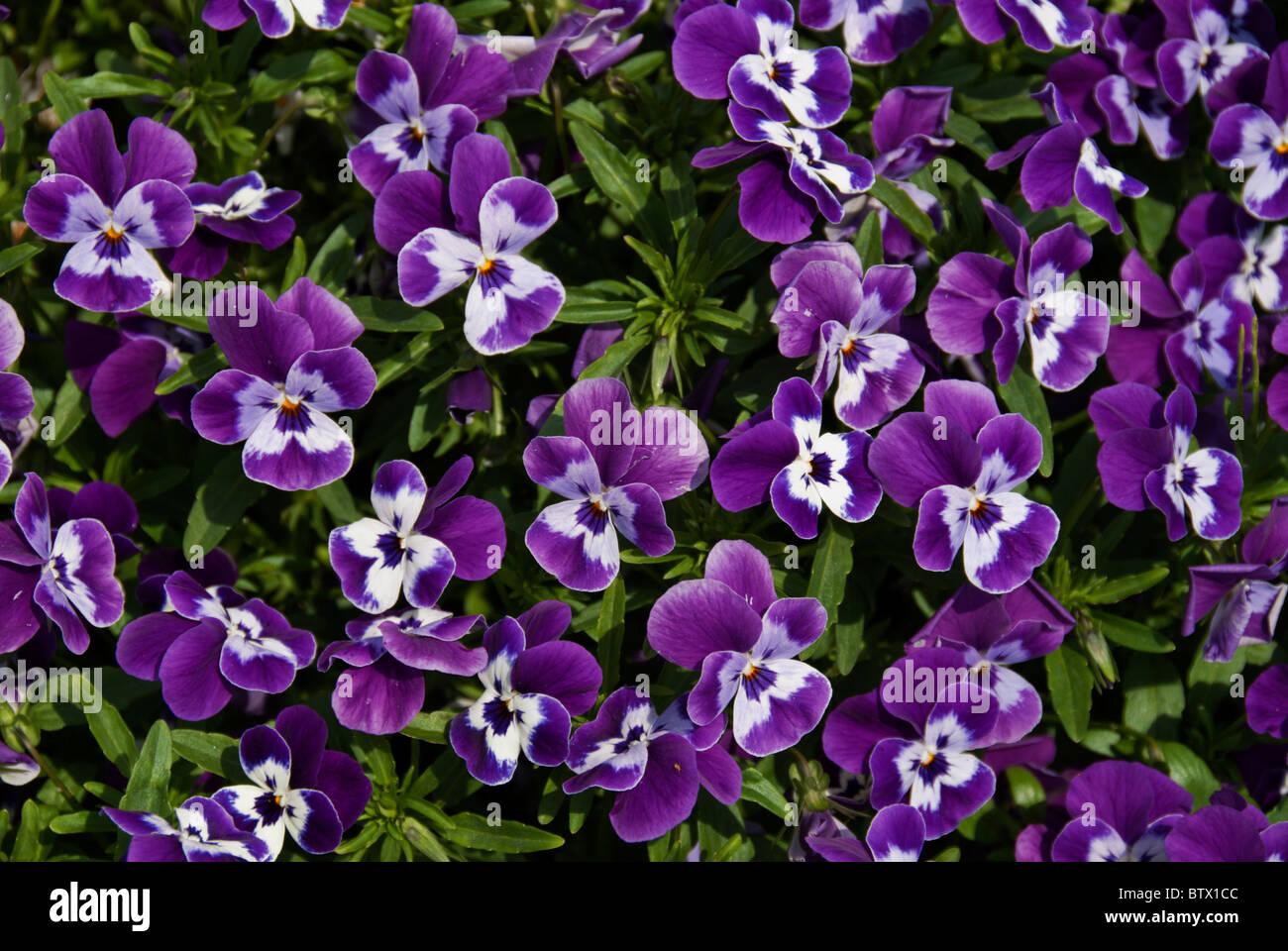 Blue and white pansies (Viola tricolor hortensis) flowering in an en masse planting. - Stock Image