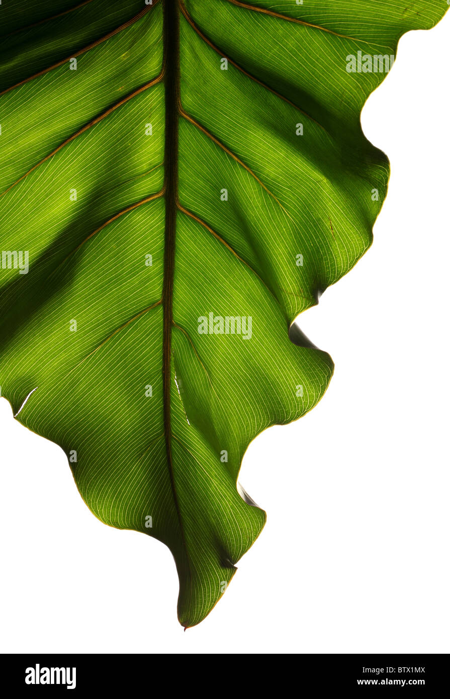 Green plant leaf with strong structure on a white background - Stock Image
