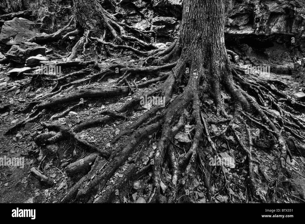 Exposed roots of trees. Washington Cascades. - Stock Image
