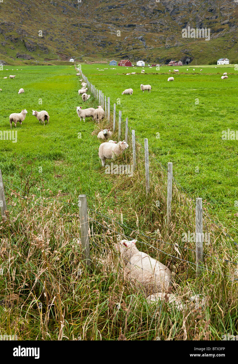 Sheep on a green field in Lofoten islands, North Norway - Stock Image