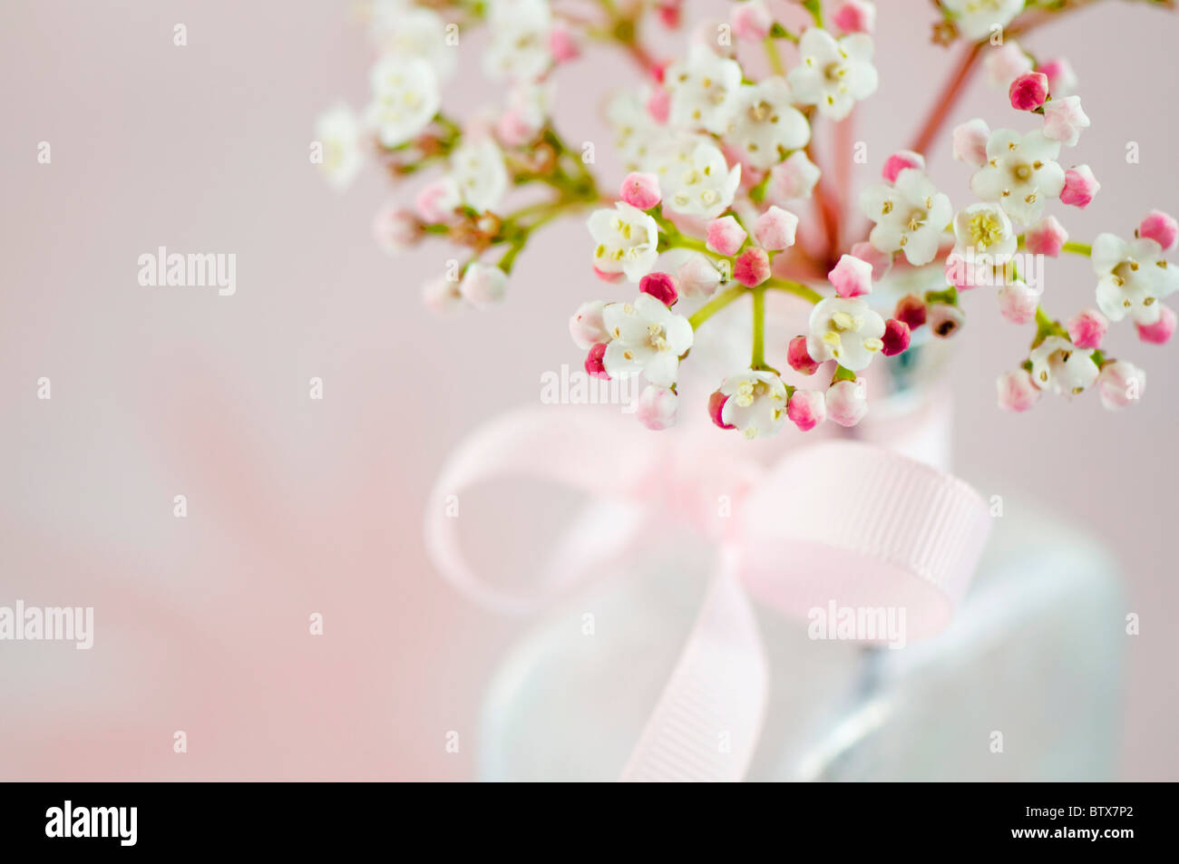 Viburnum flowers in vase with pink bow - Stock Image