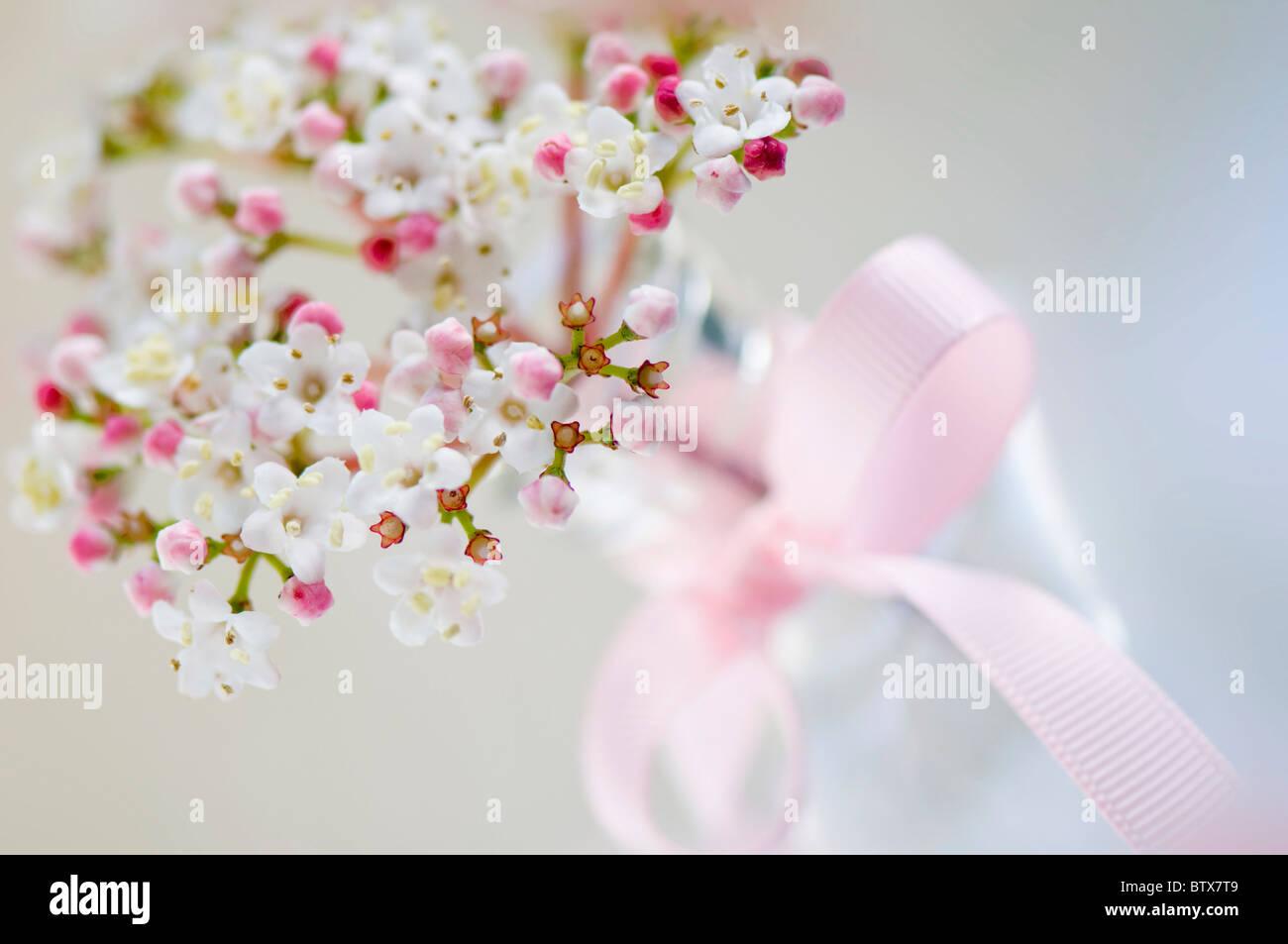 Viburnum flowers in vase pink bow - Stock Image