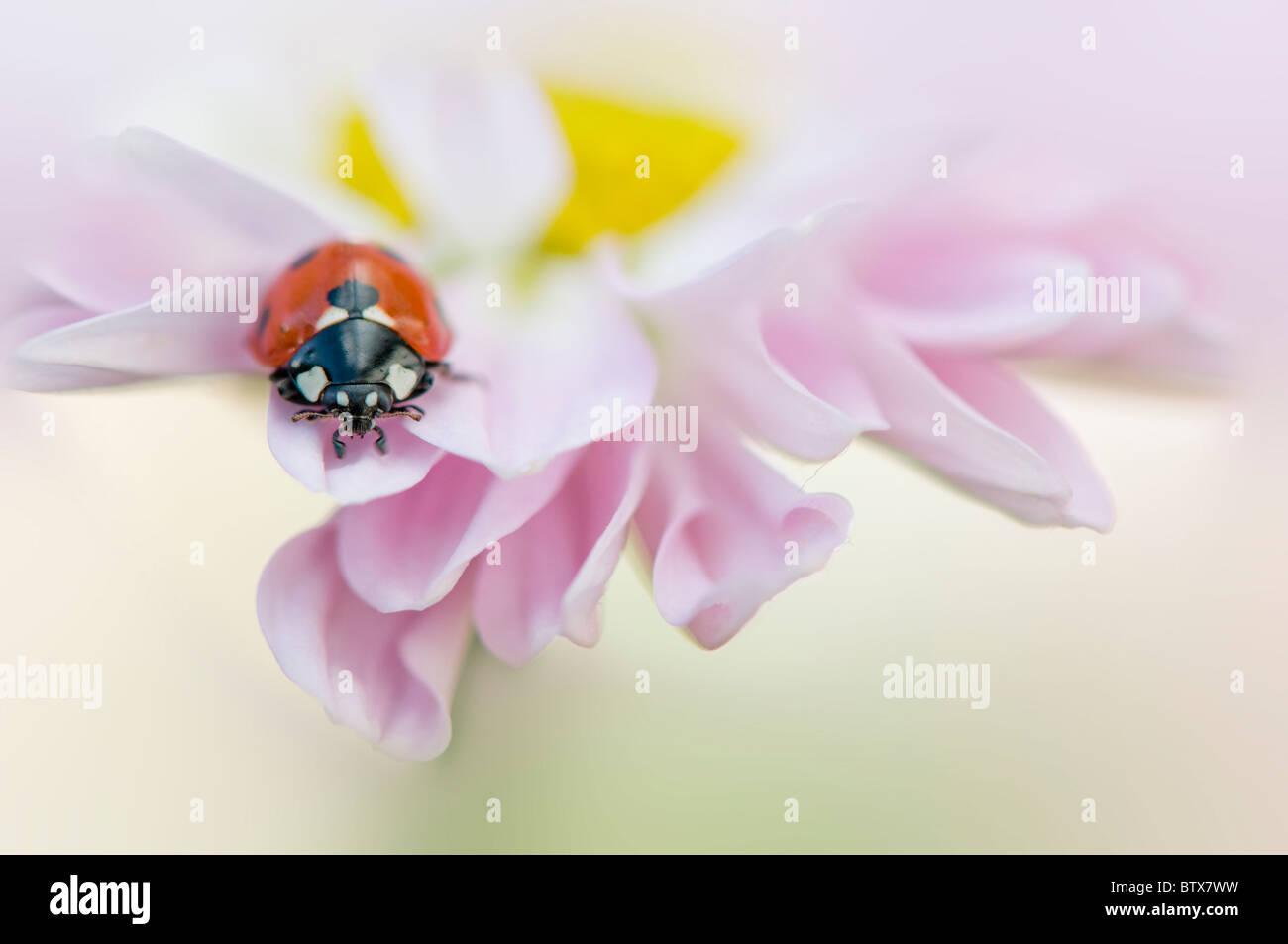Coccinella septempunctata - Coccinella 7-punctata - 7-spot Ladybird on a pink Daisy flower - Stock Image