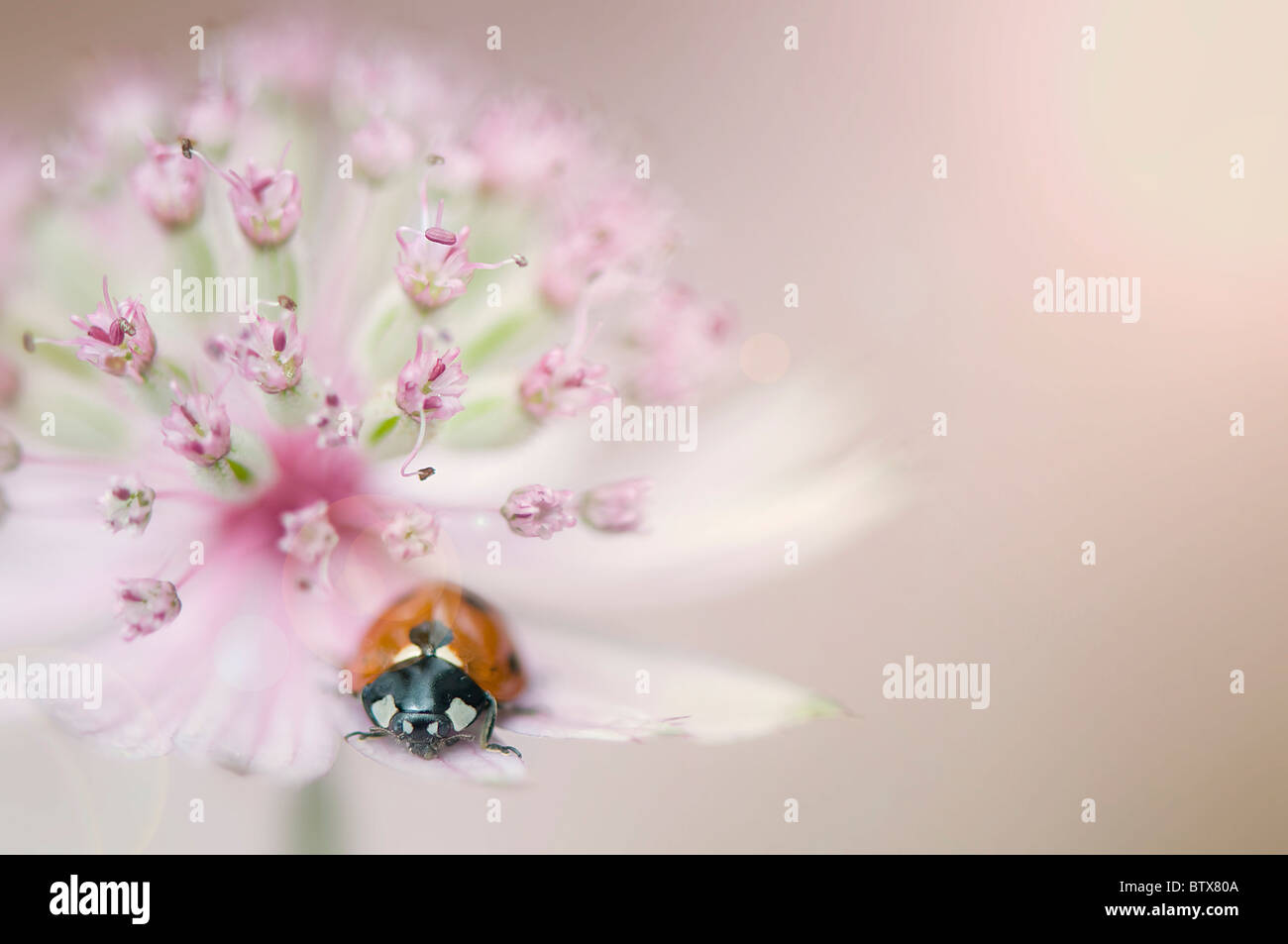 Coccinella septempunctata - Coccinella 7-punctata - 7-spot Ladybird on an Astrantia flower - Stock Image
