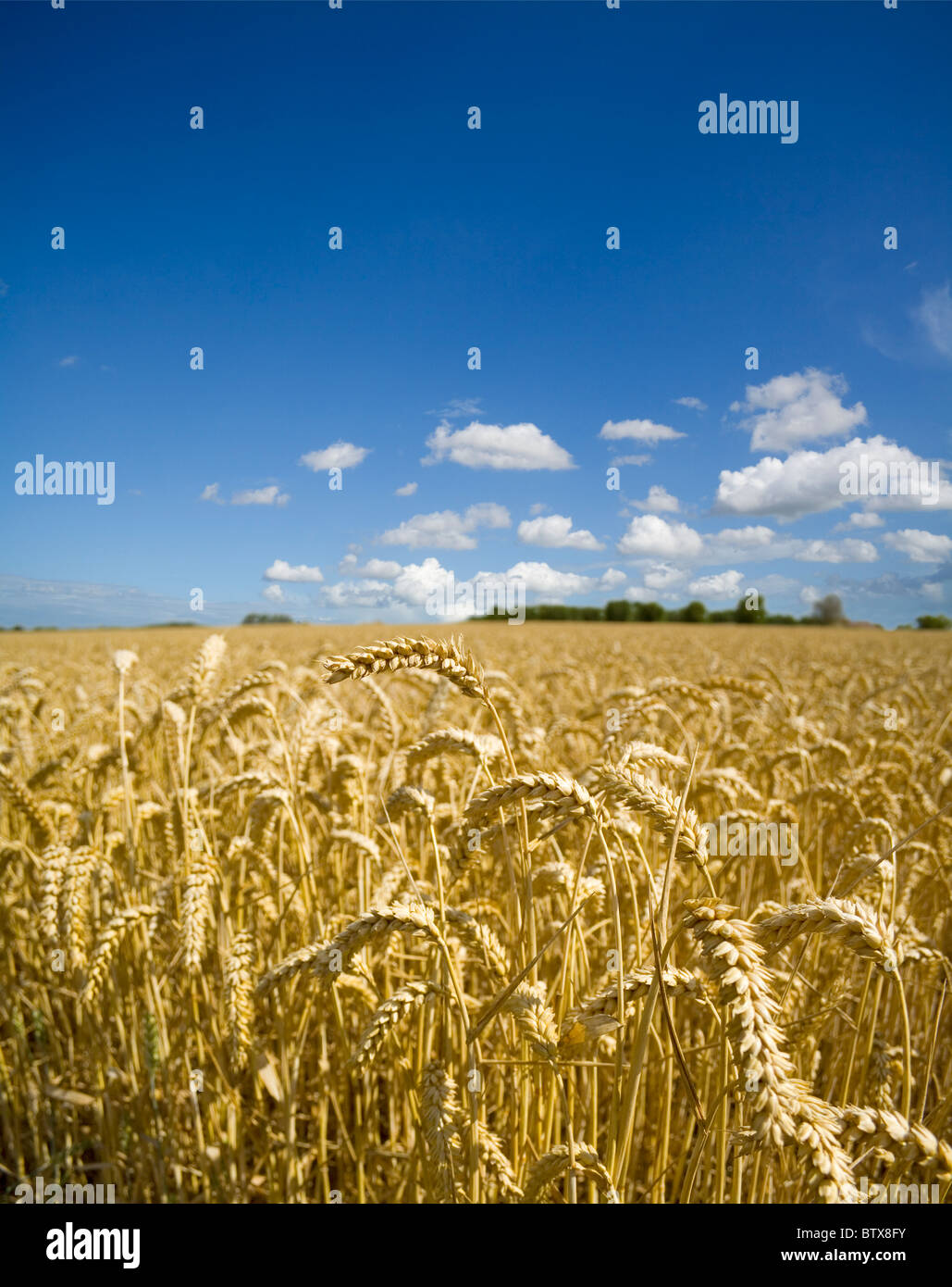 A field of ripe wheat beneath a high summer sky - Stock Image
