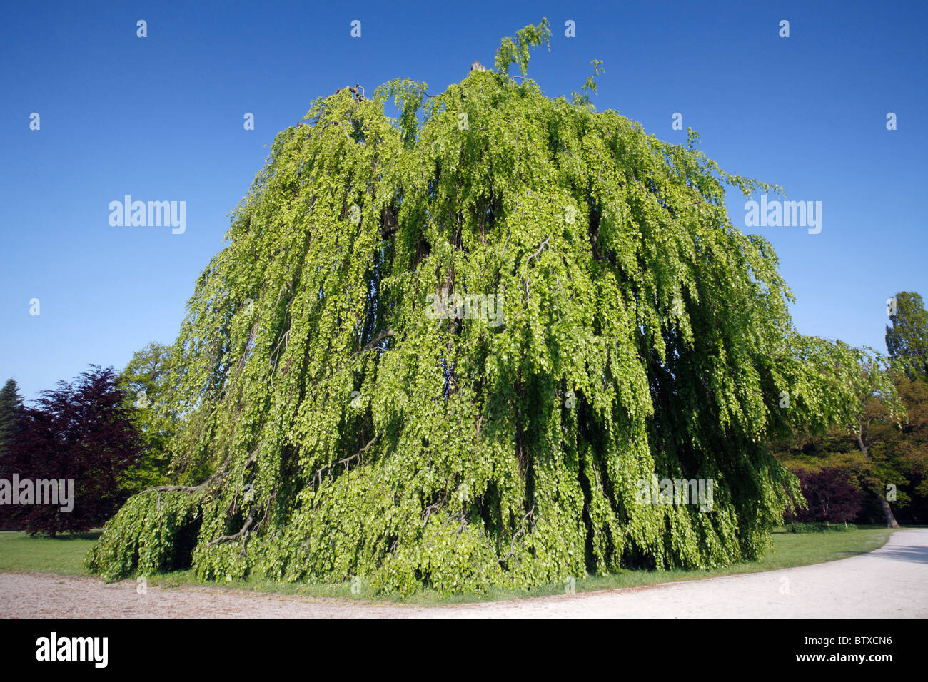 Beech Tree (Fagus sylvatica), weeping or pendula form, in park, Germany - Stock Image