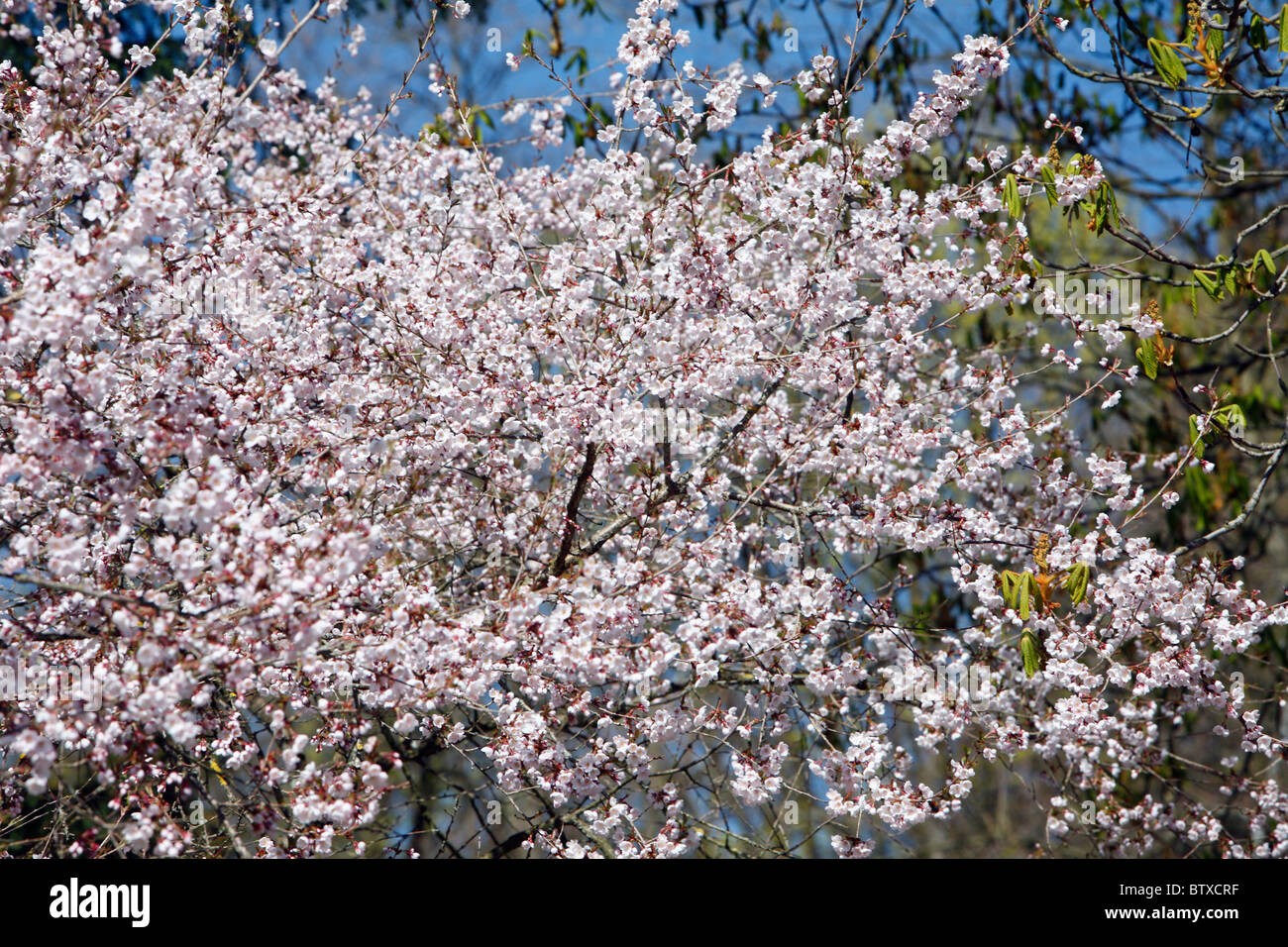 Japanese Cherry Tree (Prunus avium cultivar), blossom in springtime, Germany - Stock Image