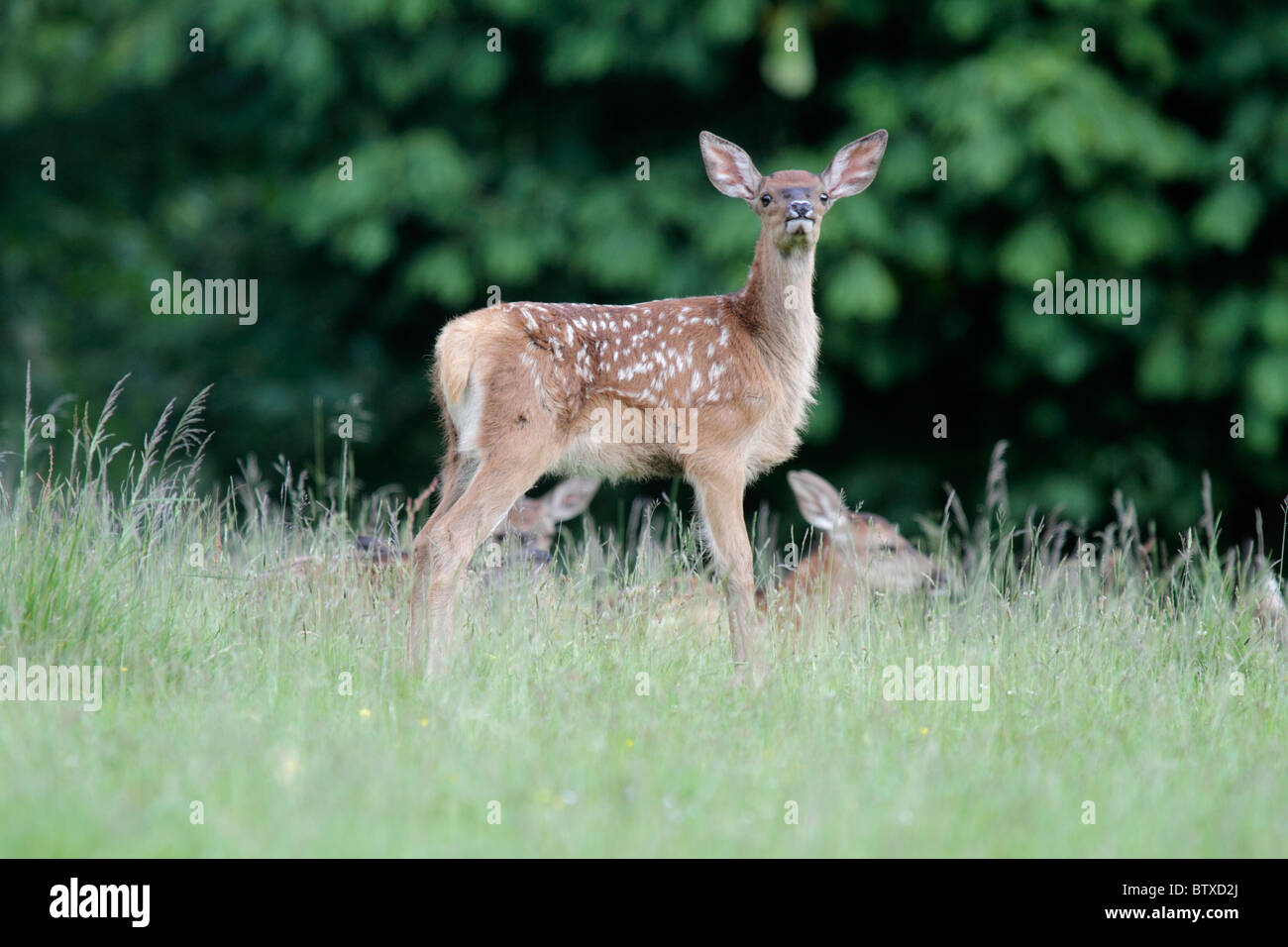 Red Deer (Cervus elaphus), fawn or calf on alert, Germany - Stock Image