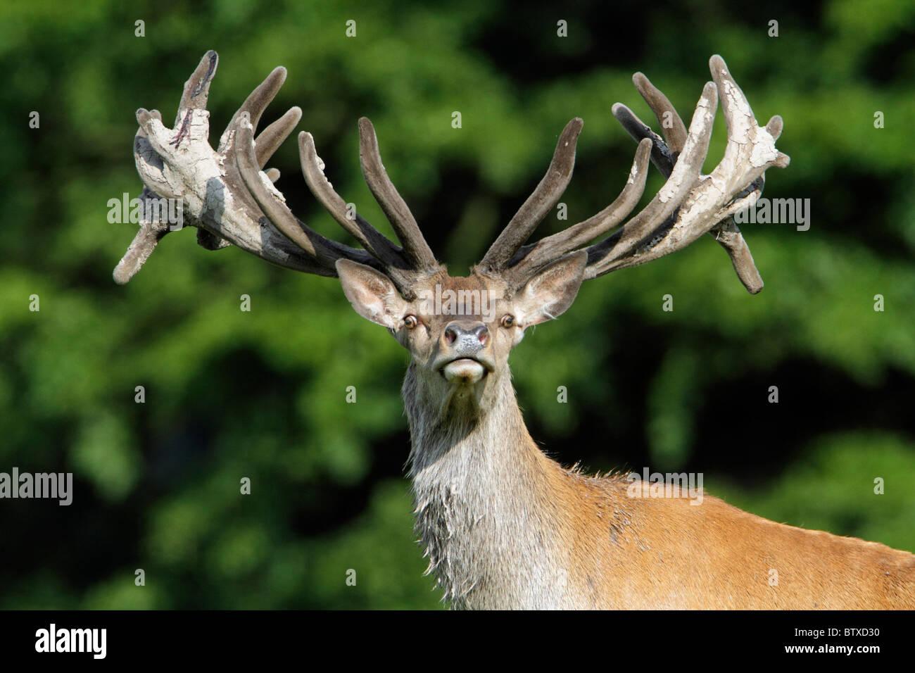 Red Deer (Cervus elaphus), stag with velvet on antlers, alert, Germany - Stock Image