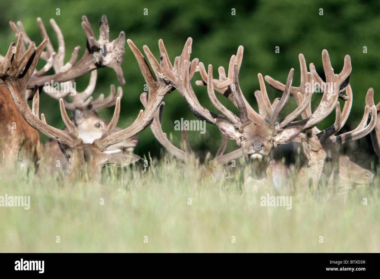 Red Deer (Cervus elaphus), herd of stags resting, Germany - Stock Image