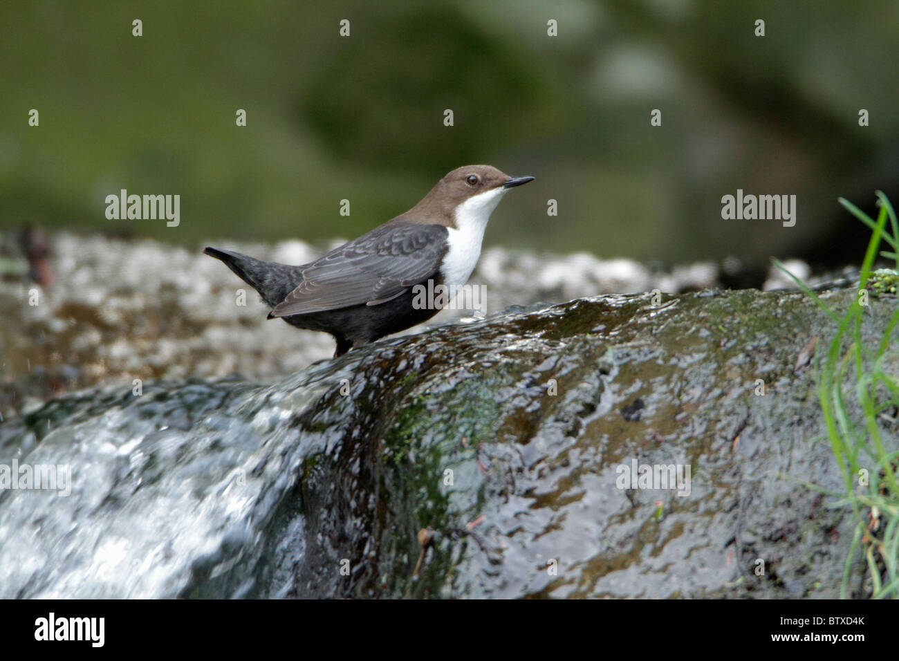 Dipper (Cinclus cinclus), standing at edge of hill stream, Germany - Stock Image