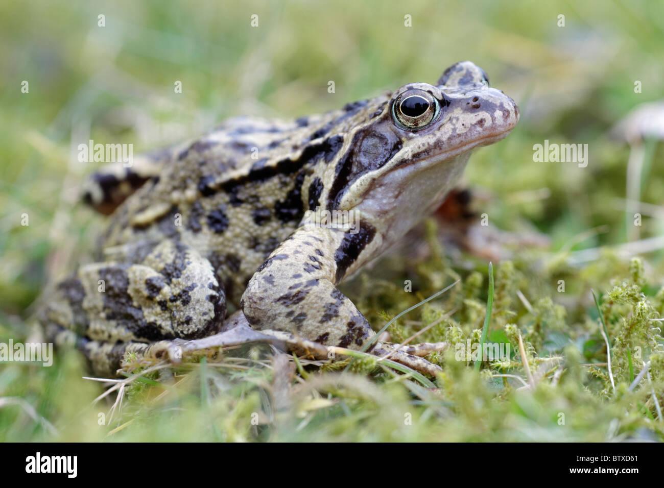 Common Frog (Rana temporaria), in garden, Germany - Stock Image