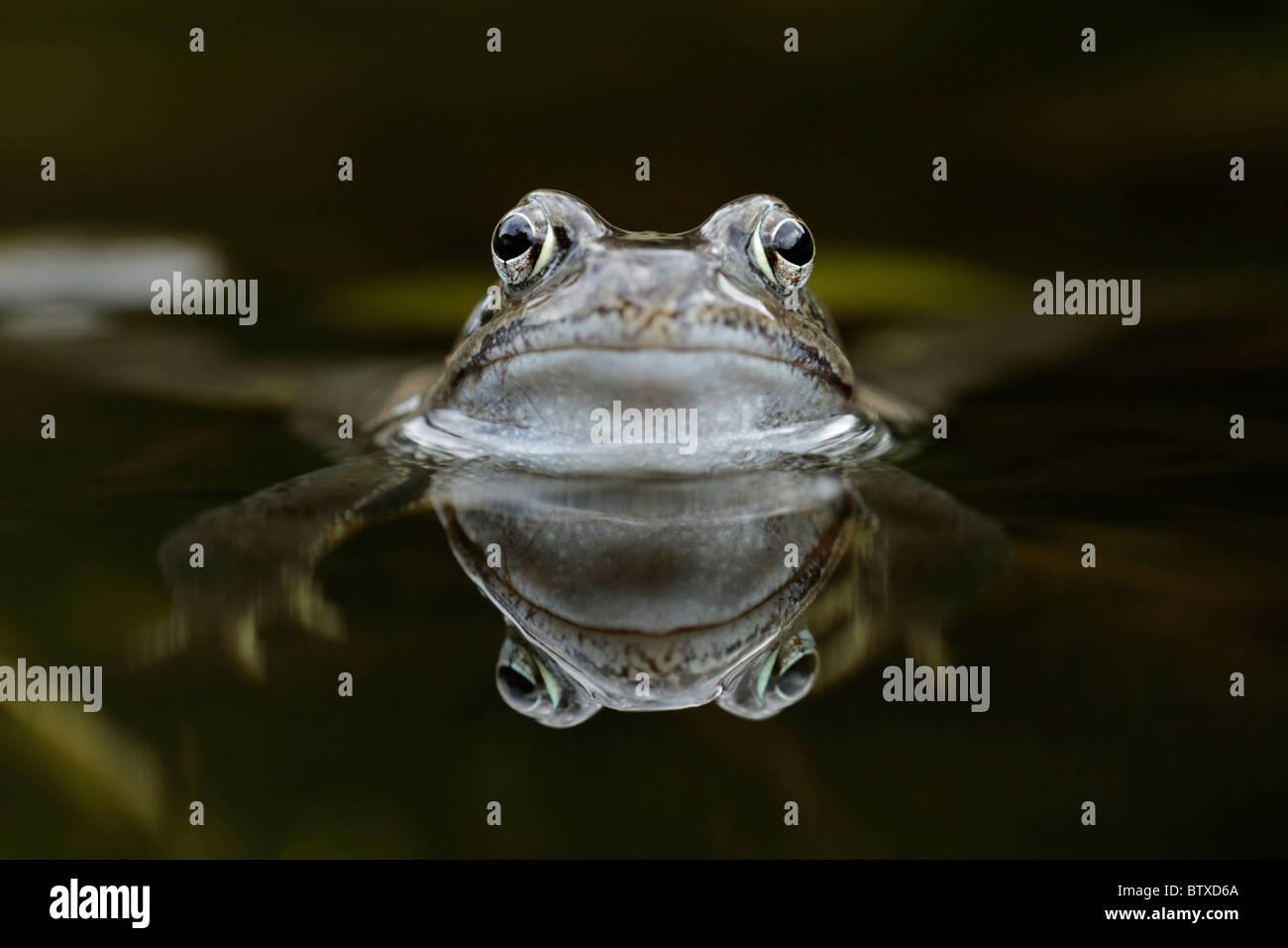 Common Frog (Rana temporaria), in garden pond, Germany - Stock Image