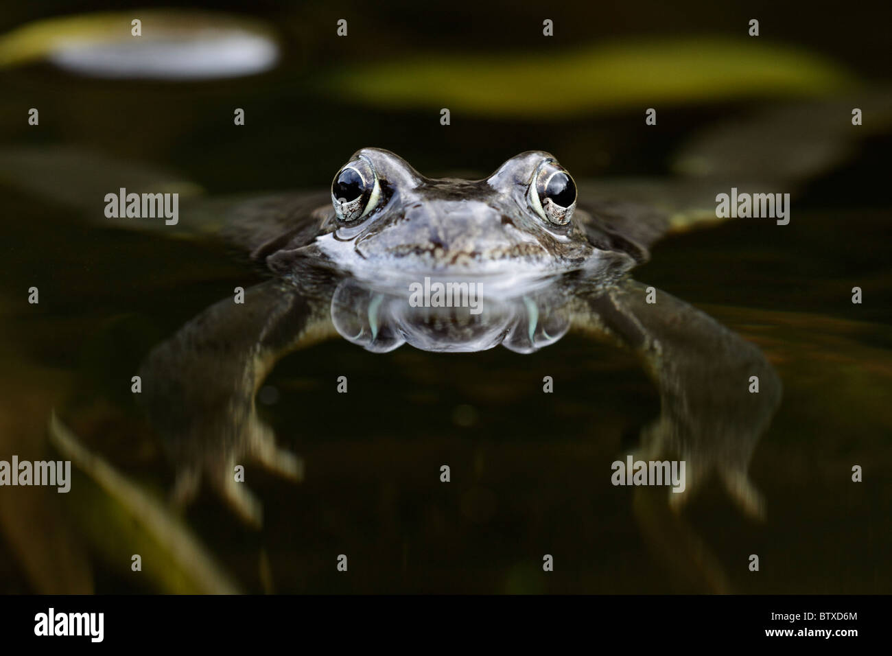 Common Frog (Rana temporaria), in garden pond, Germany - Stock Image