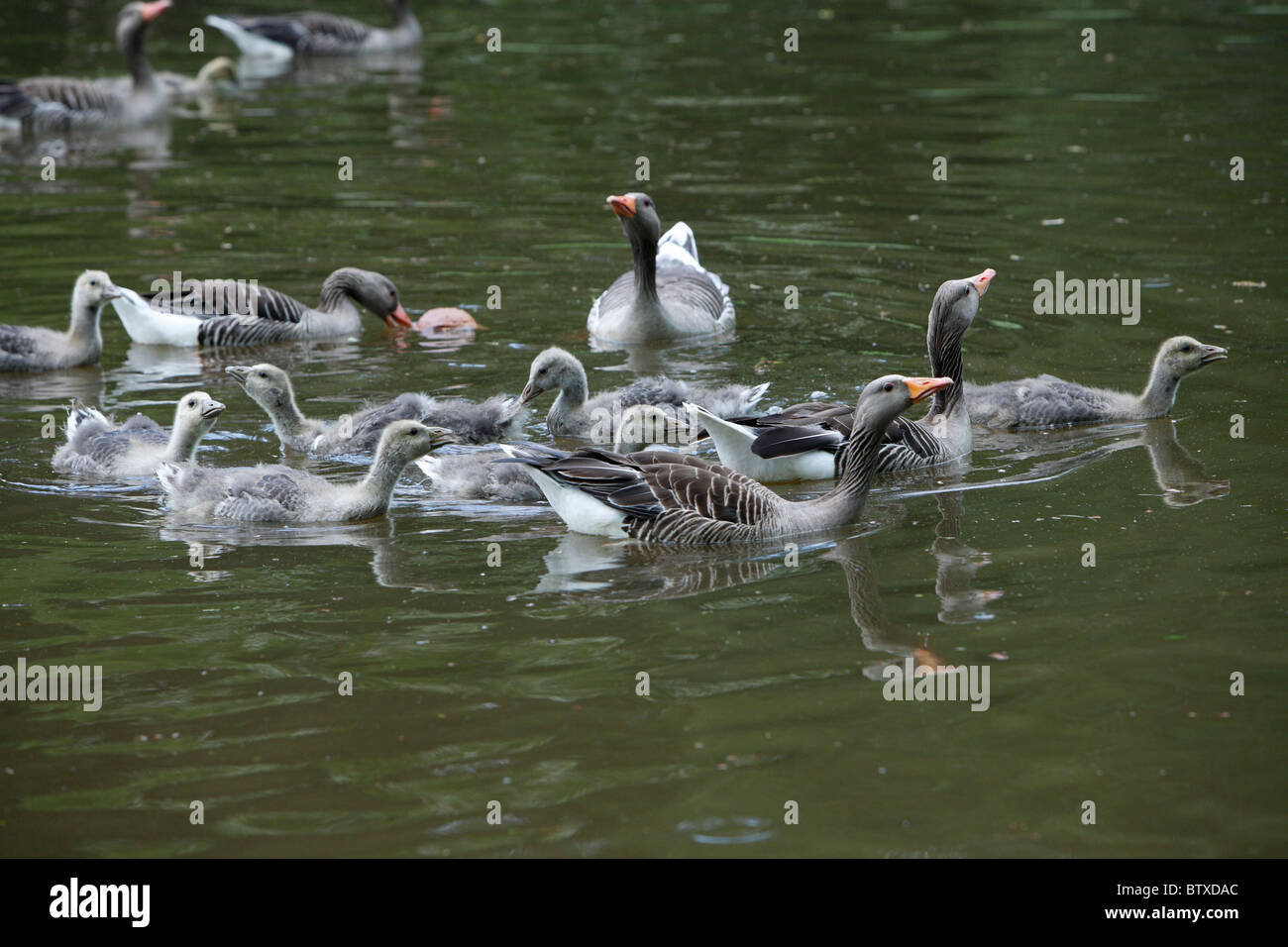 Greylag Goose (Anser anser), parent birds with goslings swimming on lake, Germany - Stock Image
