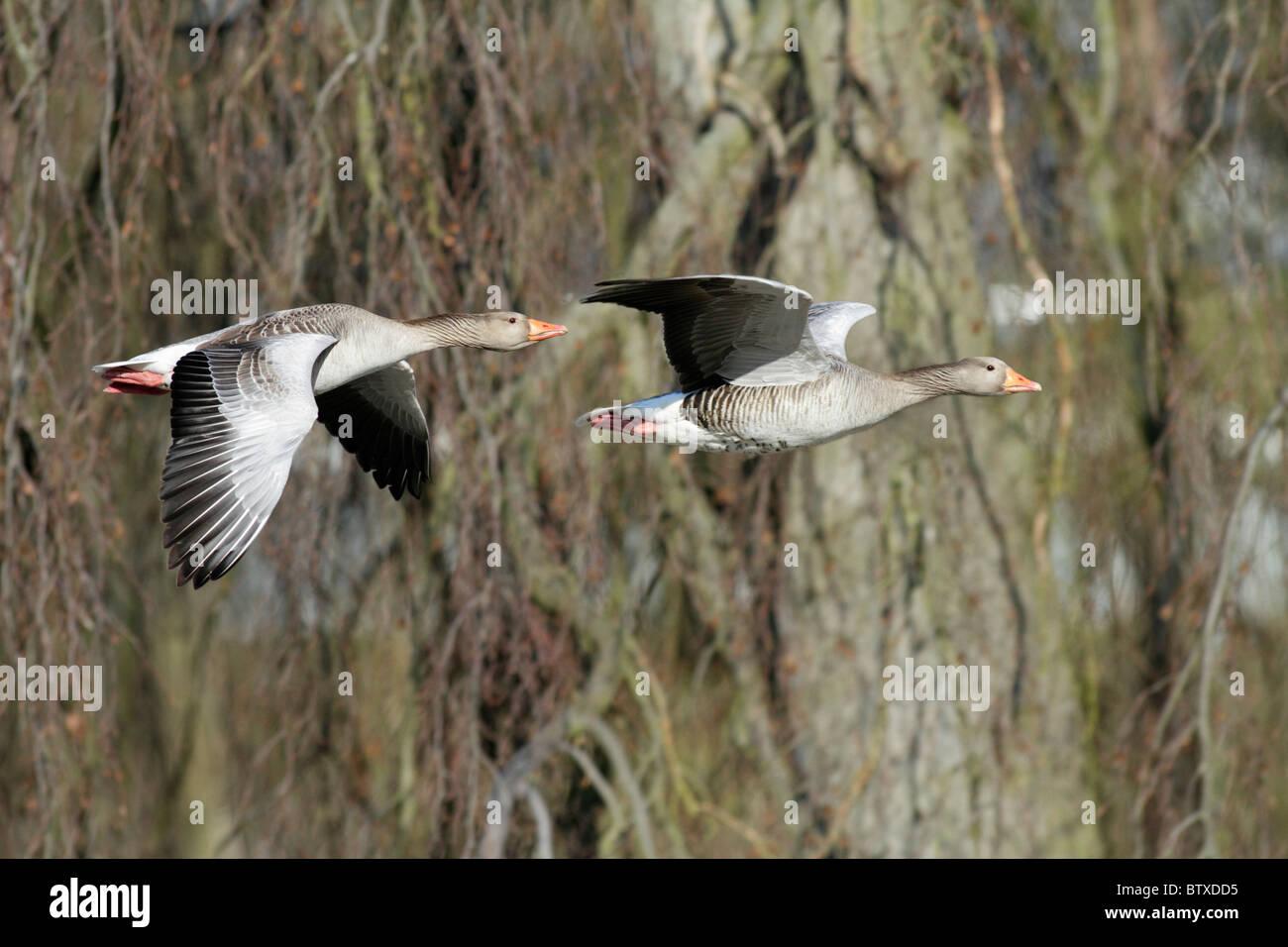 Greylag Goose (Anser anser), to birds in flight, Germany Stock Photo