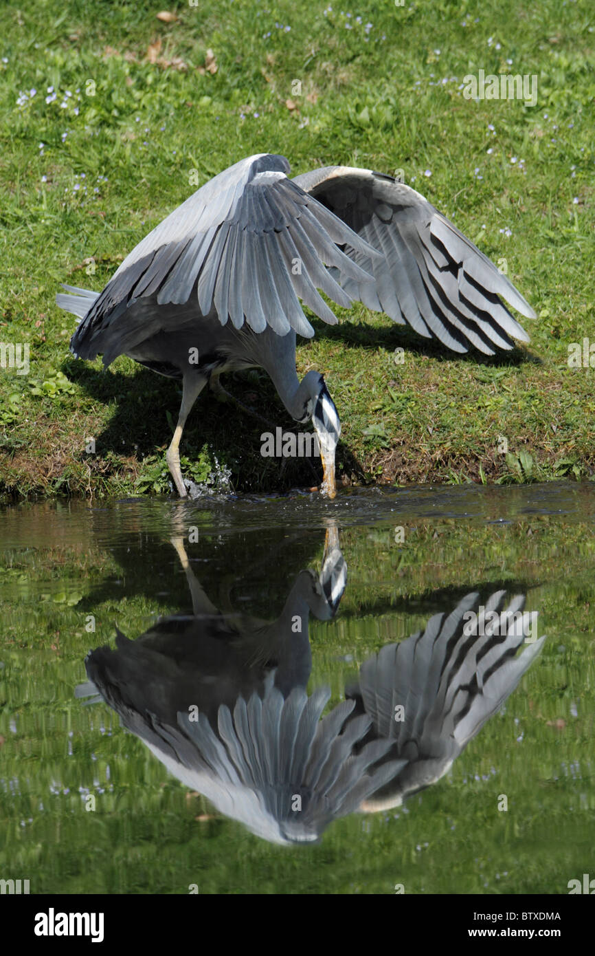 Grey Heron (Ardea cinerea), plunging into lake to catch a fish, Germany - Stock Image