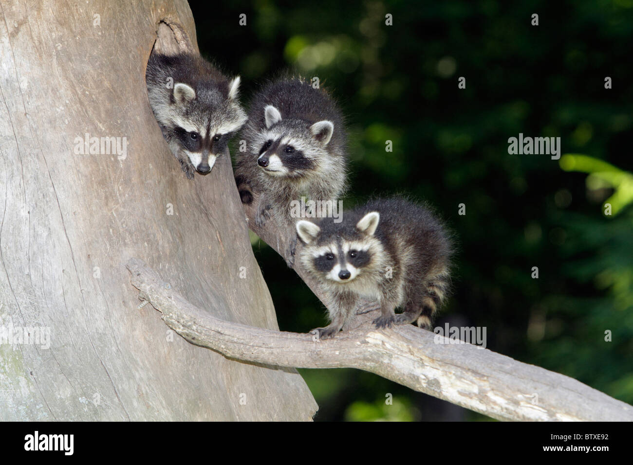 Raccoon (Procyon lotor), three baby animals, sitting in front of den entrance in tree stump, Germany - Stock Image
