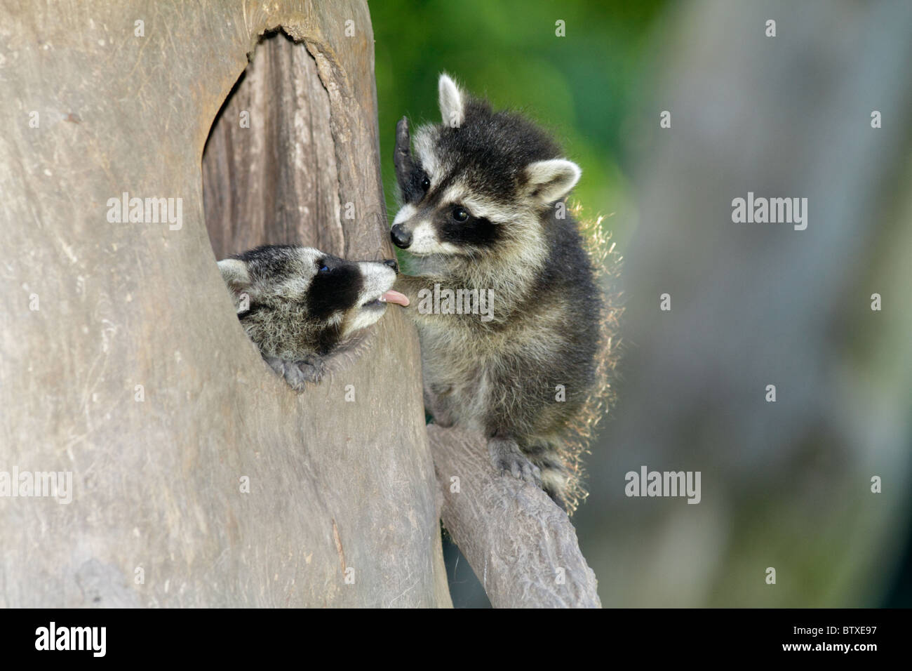 Raccoon (Procyon lotor), two baby animals playing at den entrance, Germany - Stock Image