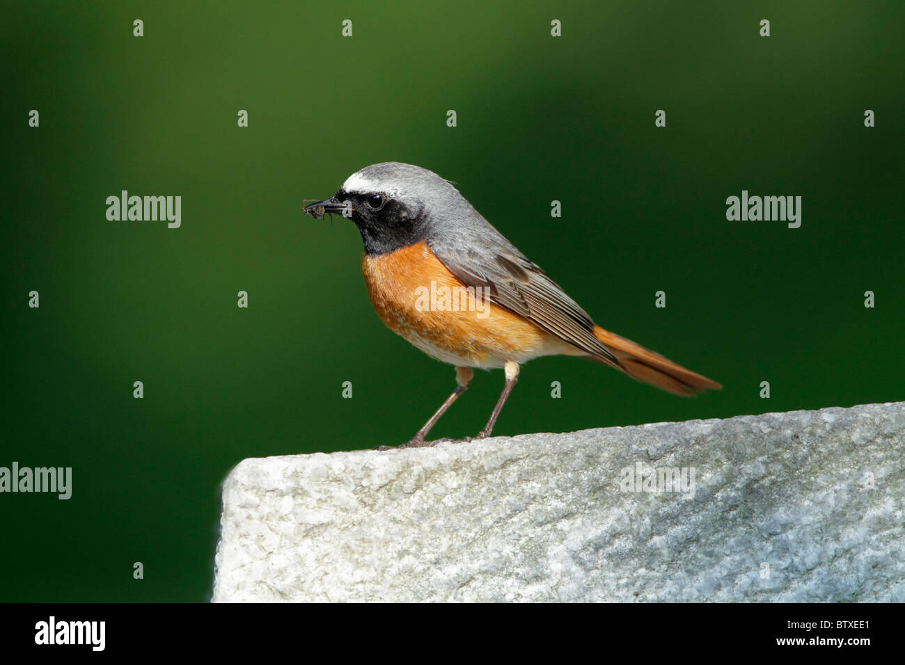 Redstart (Phoenicurus phoenicurus), male perched on gravestone, Germany - Stock Image