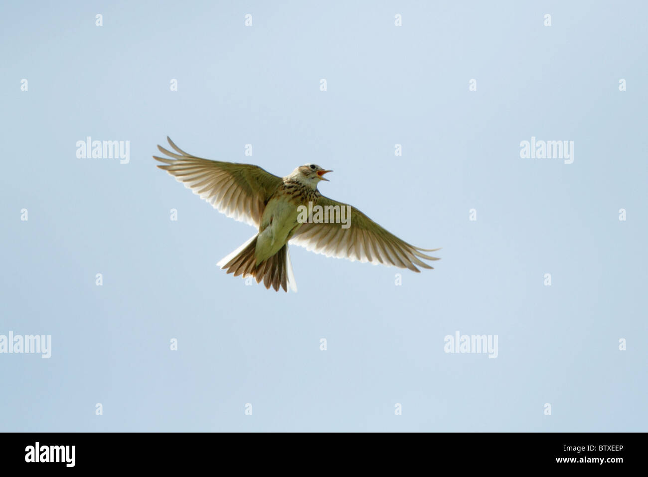 Skylark (Alauda arvensis), singing on the wing, Germany - Stock Image