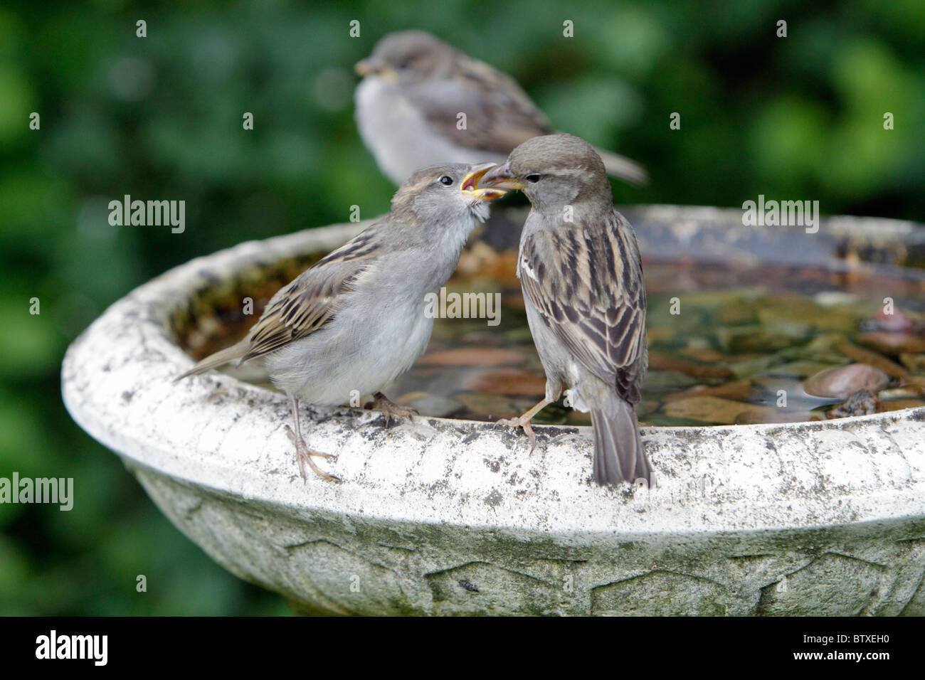 House Sparrow (Passer domesticus), young birds begging for food from mother, Germany - Stock Image