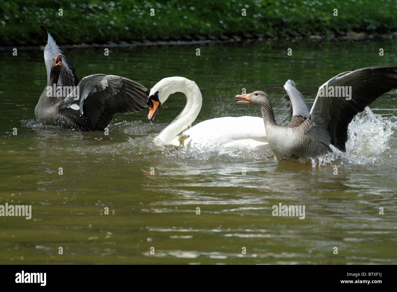Greylag Goose (Anser anser), parent birds attacking and defending their gosling from aggressive Mute Swan (Cygnus Stock Photo