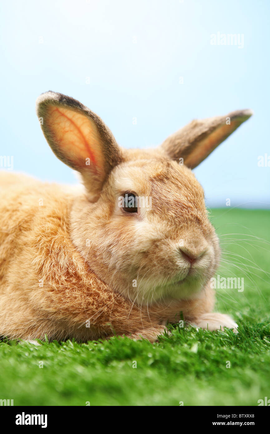 Image of cautious rabbit on green grass against blue sky - Stock Image
