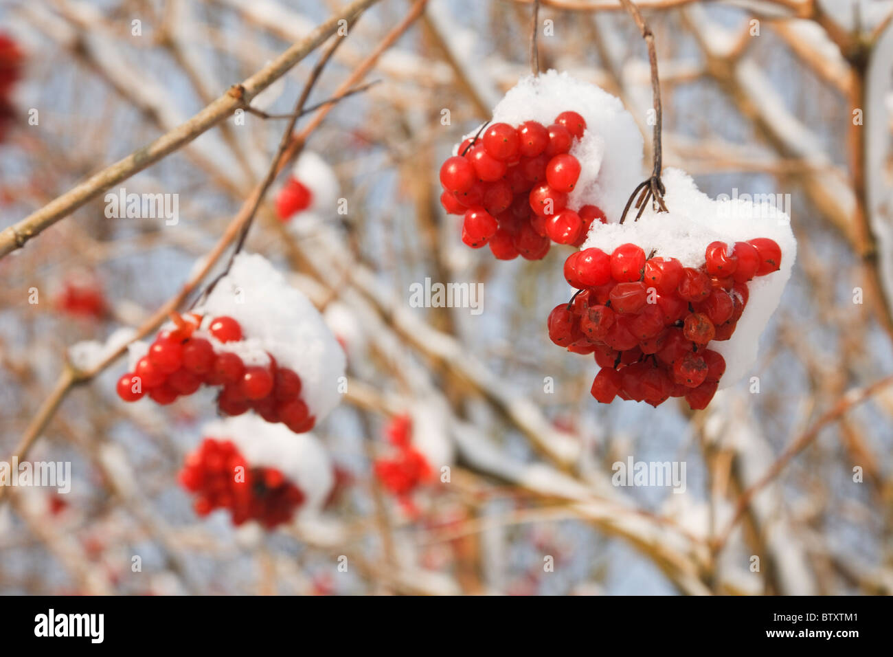 Red Berries Of Rowan Tree Or Mountain Ash Sorbus Aucuparia With