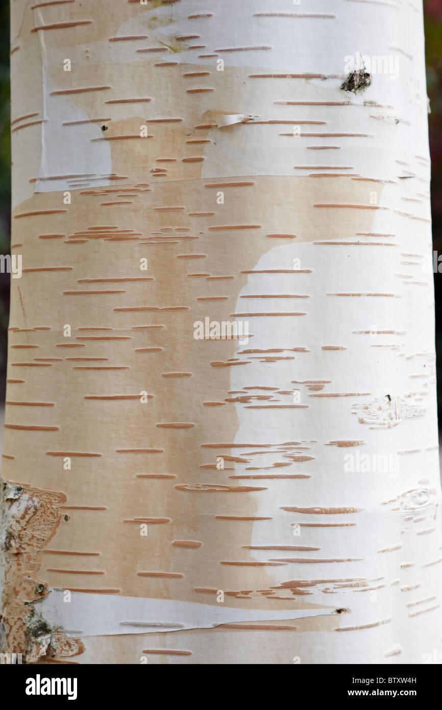 White barked Himalayan Birch tree bark close-up (Betula utilis Jacquemontii). UK - Stock Image